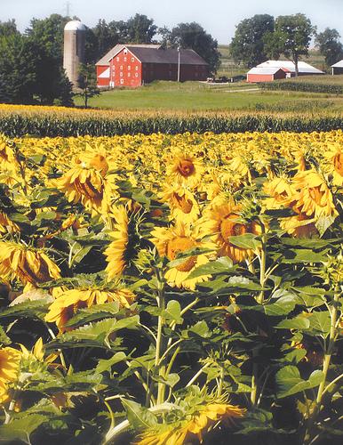 sunflowersfullmedium.jpg