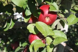 Ohio apples