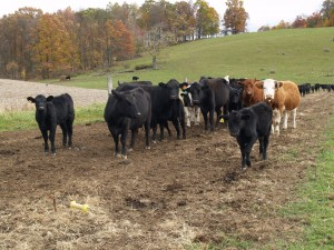 Photo of a beef herd