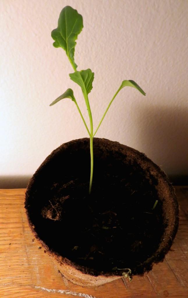 Started seedling