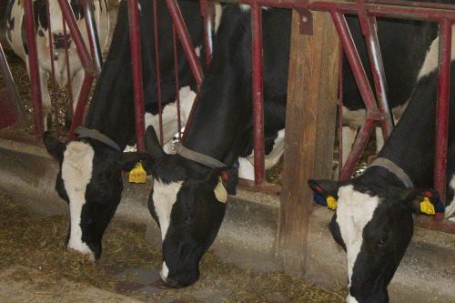 Perro Dairy Farm5
