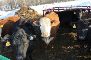 Gahler cows