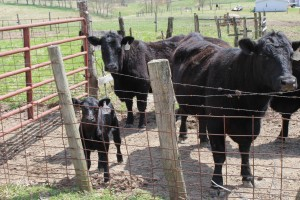 Duncan cattle group