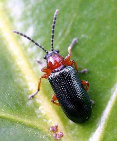 cereal leaf beetle, adult