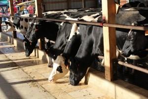 Twilight cows eat