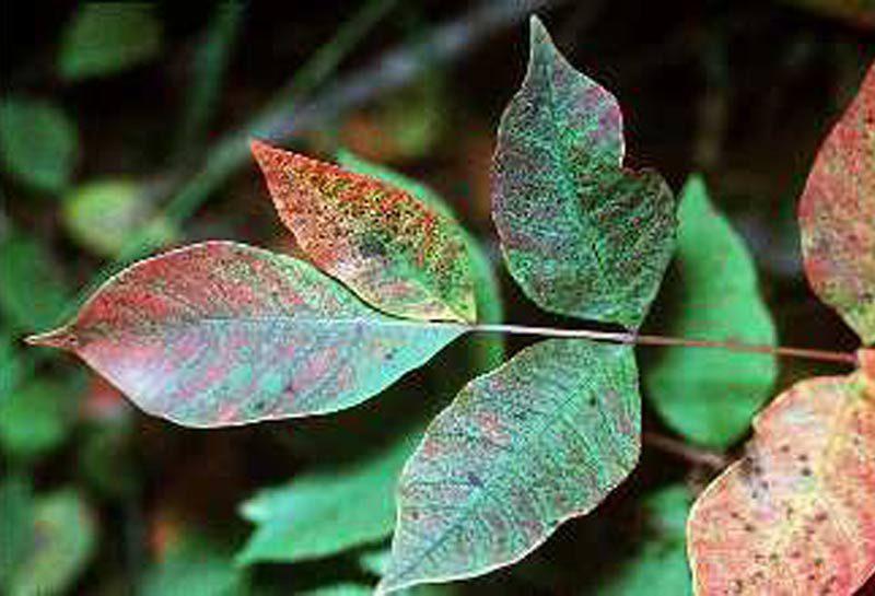 Poison sumac leaf