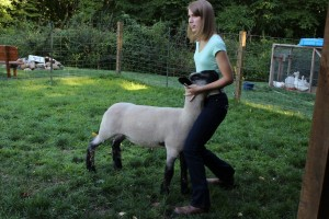 Jennifer Montazzoli spends up to six hours per day feeding, exercising and training her lambs for the Geauga County Junior Fair.