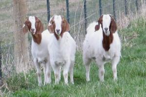 Goats Dickie Bird Farm