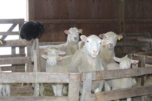 Miller sheep alone