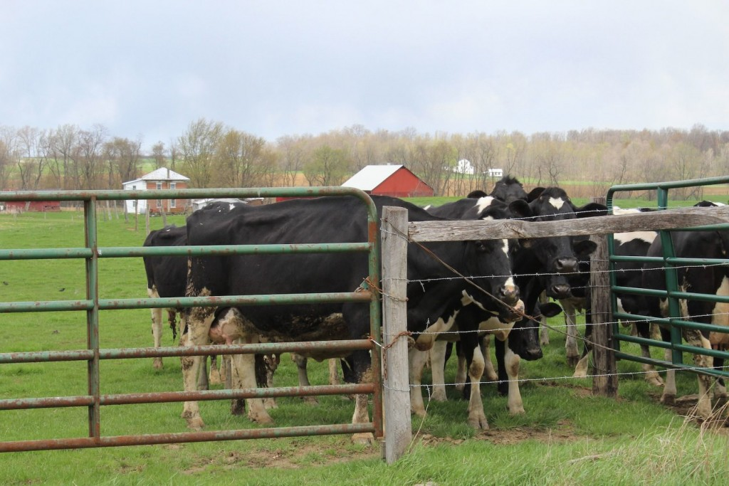 These dairy cows were spotted on pasture between Wooster and Perrysville April 21.