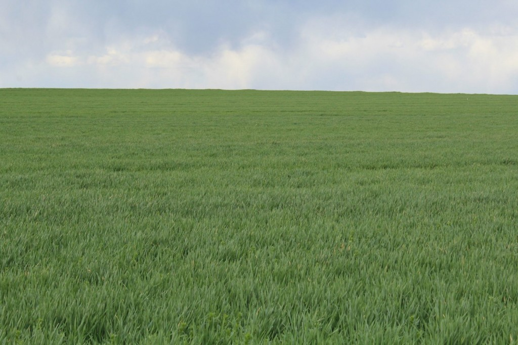 The winter wheat is beginning to green up. This field was spotted between Wooster and Orrville.
