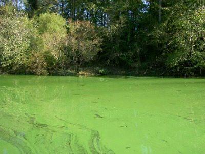 A toxic algae bloom, one of many around the world, covers North Carolina's Cape Fear River. Credit: Stephanie Garrett, NCDENR
