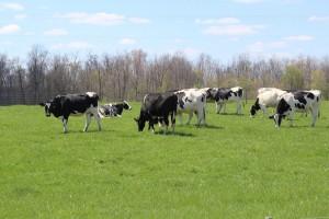 Bridgewater grazing