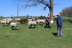 Leon Locke with sheep.