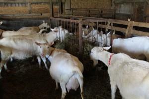 Turkeyfoot group goats