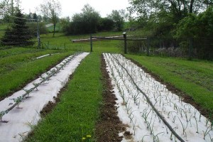 Broccoli and onions growing at Fichter Farm, Minerva, OH