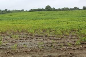 Wet soybeans