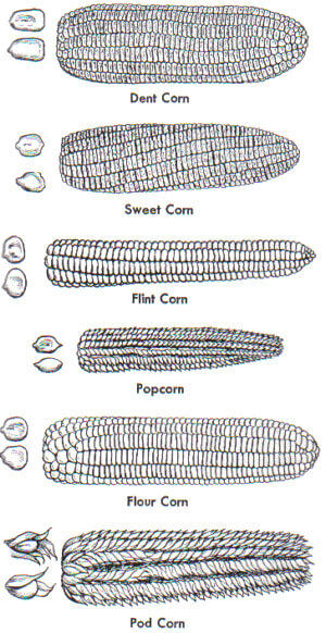 Types of corn