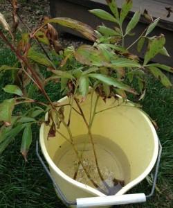 divided peonies soaking in bucket
